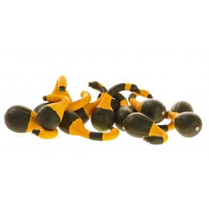 Koshare Yellow